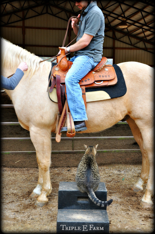 Mo Mo the cat thought it was his turn to ride. This is my husband on this 15ish hands high beauty.