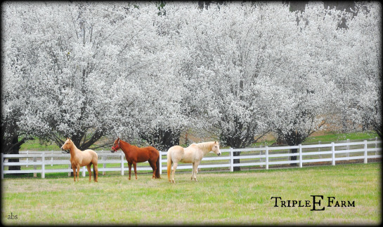 The Bradford Pear trees are in full bloom. These three are Sarah (chocolate) Little man (Butterscotch) Nick (Vanilla--he is 35 years old my daughter informed me)